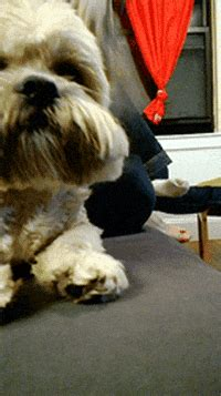 Prepare For Take Off Shih Tzu GIF - Find & Share on GIPHY