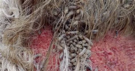 Horrible sight: Maggot-infested pony is saved
